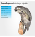 Tawny Frogmouth Owl vector image