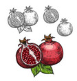 pomegranate sketch fruit cut section icon vector image