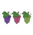 Bunches of grapes vector image vector image