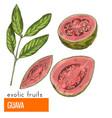 guava color vector image vector image