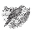 mourning dove vintage vector image vector image