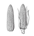 sketch of two corn cobs vector image