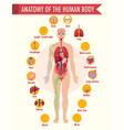 anatomy human body information infographic vector image