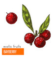 bayberry color vector image vector image