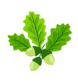 oak acorns with leaves isolated vector image