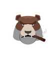 angry bear with cigar aggressive grizzly isolated vector image vector image