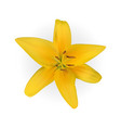 colorful yellow naturalistic lily flower on white vector image vector image