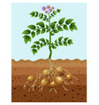 potatoes planting in ground vector image