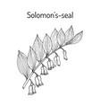 solomon s seal polygonatum multiflorum medicinal vector image vector image
