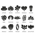 green salad plants isolated on white vector image vector image
