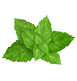 mint leaves isolated vector image