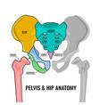pelvis anatomy scheme vector image vector image