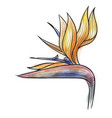 strelitzia reginae flower isolated vector image vector image