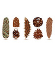 set pine and spruce cones isolated on white vector image