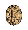 walnut vector image