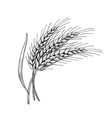wheat ears with leaves hand drawn vector image vector image