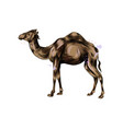 arabian camel from a splash watercolor colored vector image vector image