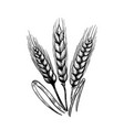 set of hand drawn wheat in engraving style design vector image