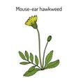 mouse-ear hawkweed hieracium pilosella medicinal vector image