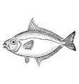 common ponyfish vintage vector image vector image