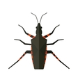 Water scavenger beetle isolated on white vector image vector image