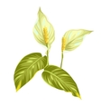 Bouquet of two decorative flowers spathiphyllum on vector image