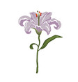 realistic vivid light violet lily on white vector image vector image