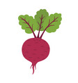 fresh beet with leaf natural root vegetable vector image
