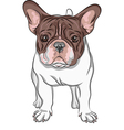 domestic dog French Bulldog breed on the white bac vector image vector image