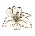 lily flower hand drawn isolated on white vector image