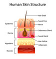 human skin structure vector image vector image