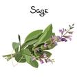 Sage herb vector image vector image