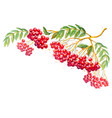 composition with rowanberry branch vector image vector image