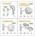 set of vegetable radish cauliflower cabbage and vector image vector image