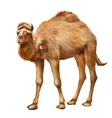 The domestic Camel vector image