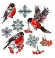 collection of bullfinch birds snowflakes and rowan vector image
