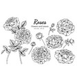 collection set rose flower and leaves drawing vector image