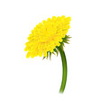 dandelion on stem closeup isolated vector image vector image