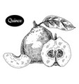 hand drawn sketch style fresh quince vector image vector image