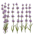 sprigs of lavender vector image vector image