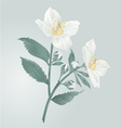 Twig jasmine flowers with leaves vector image