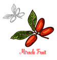 miracle fruit green branch sketch of exotic berry vector image vector image