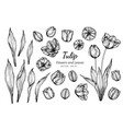 collection set of tulip flower and leaves drawing vector image