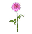 pink rose flower with green leaves and long stem vector image vector image