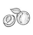 apricot sketch engraving vector image vector image