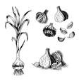 Hand drawn set of garlic sketch vector image