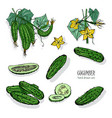 set of different cucumber on branch flowering vector image vector image