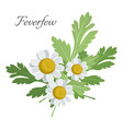 feverfew floral element with green leaves vector image vector image