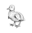 hand drawn duckling vector image