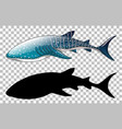 whale shark with its silhouette on transparent vector image